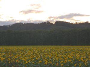 ふたたびのひまわり畑