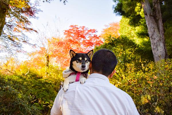 美しい紅葉と愛犬さくらと