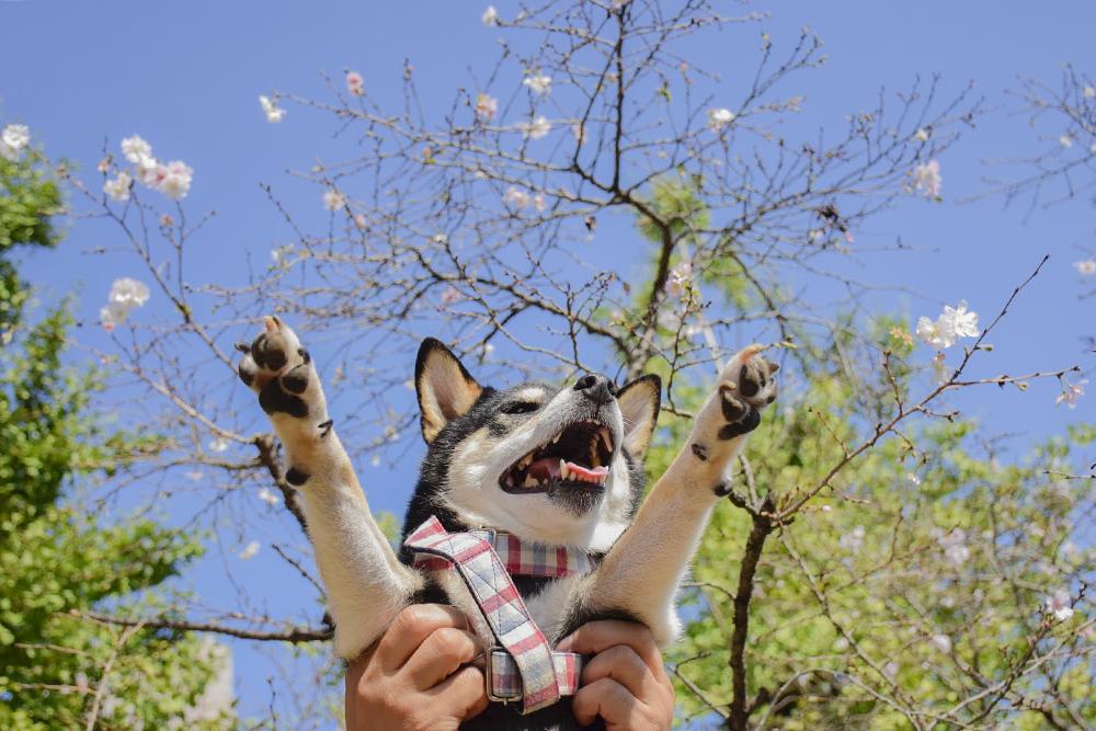 芝生広場の十月桜と