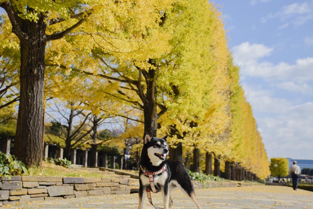 立川口の銀杏並木