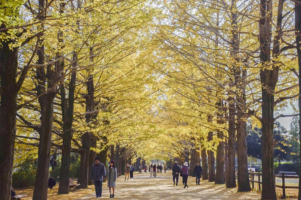 うんどう広場の銀杏並木
