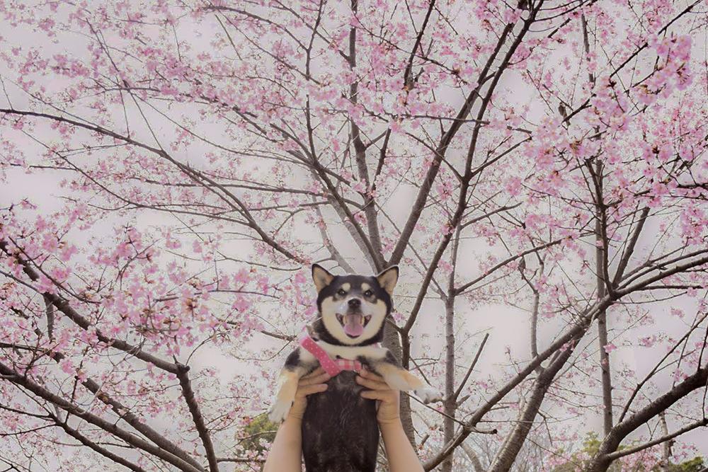 春のさくらさん