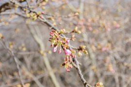 熱海桜も咲き始め